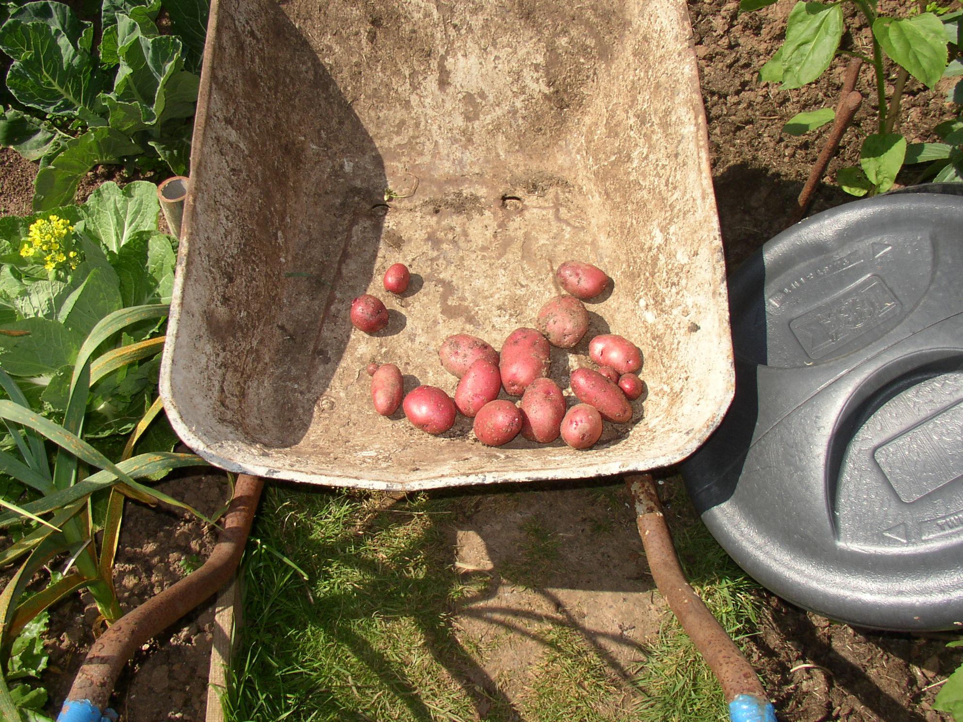 1 potato 2 crops.