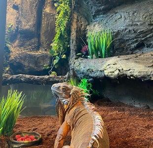 Happy Iguana