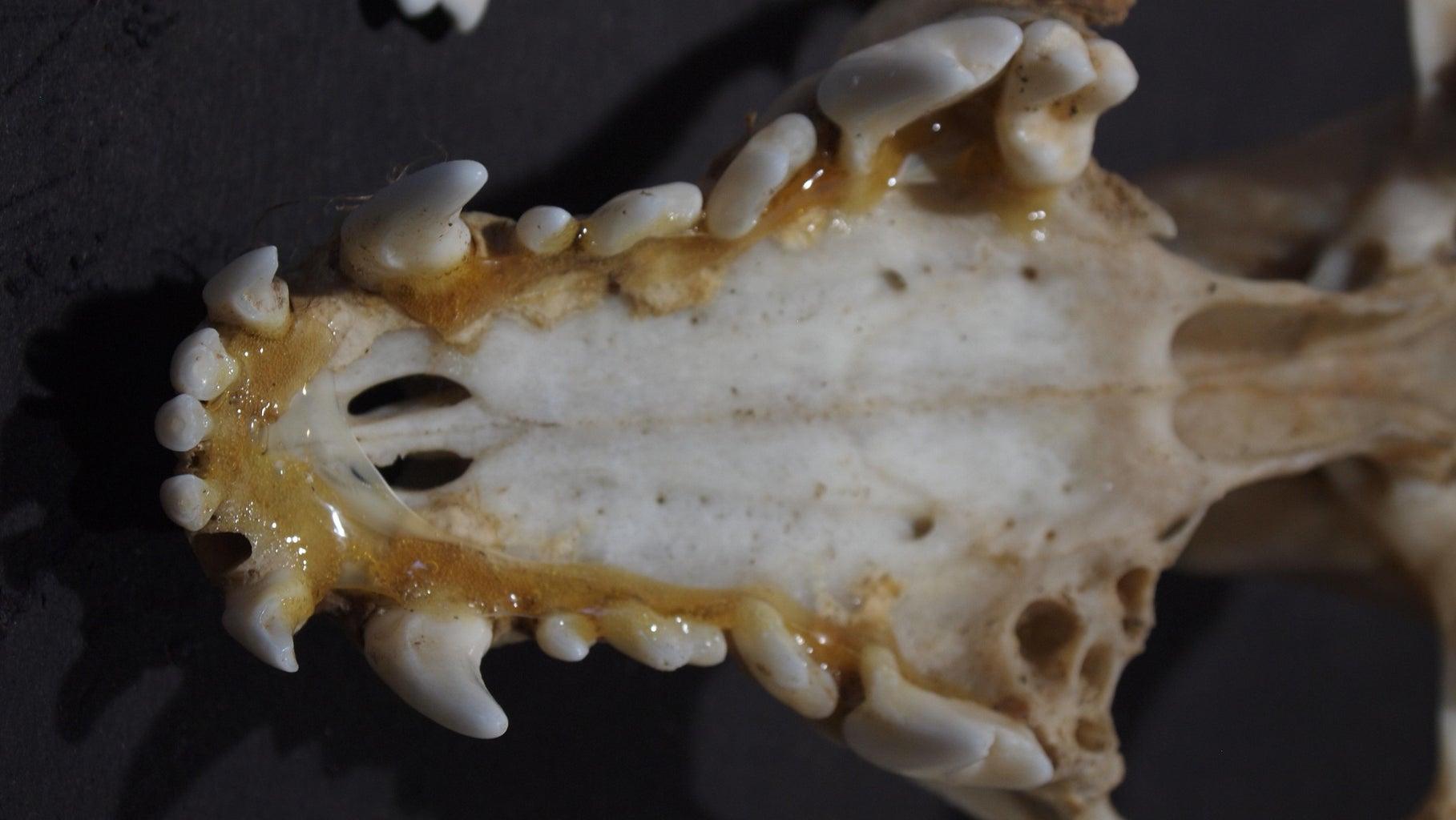 Skull, Bones and Teeth Preperation
