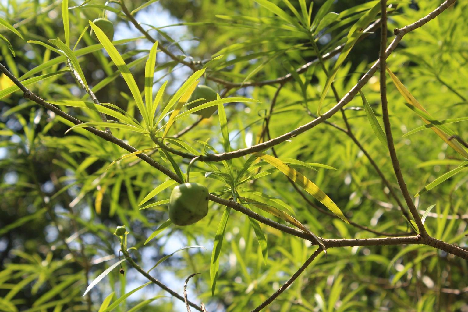 Kaner (Yellow Oleander):