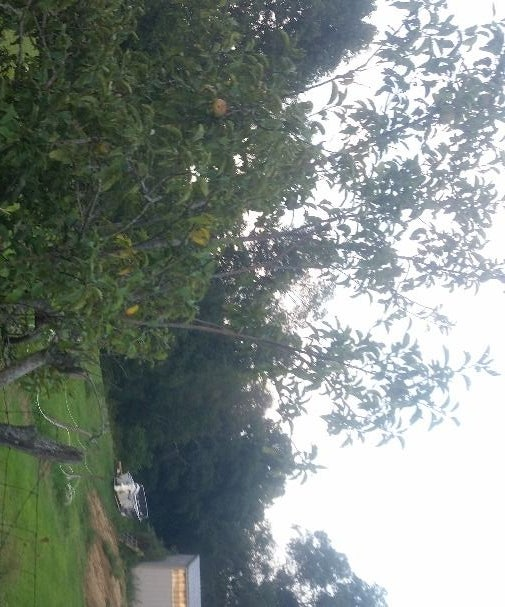 Correcting a Leaning Apple Tree