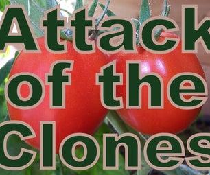 Cloning Tomatoes
