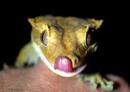 How to Mix CGD (Crested Gecko Diet)