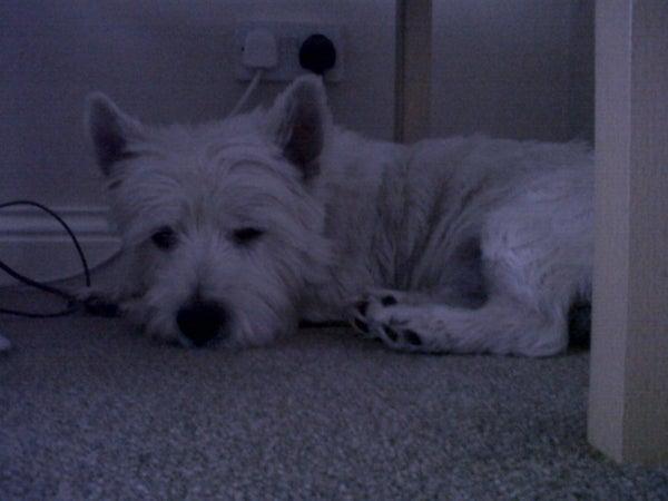 How to Teach Your Dog Lie Down.