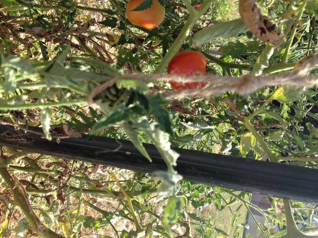 Draping & Attaching the Twine to the Tomato Plant