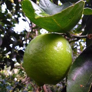 Chanh Muối - Salt Pickled Limes and Lemons