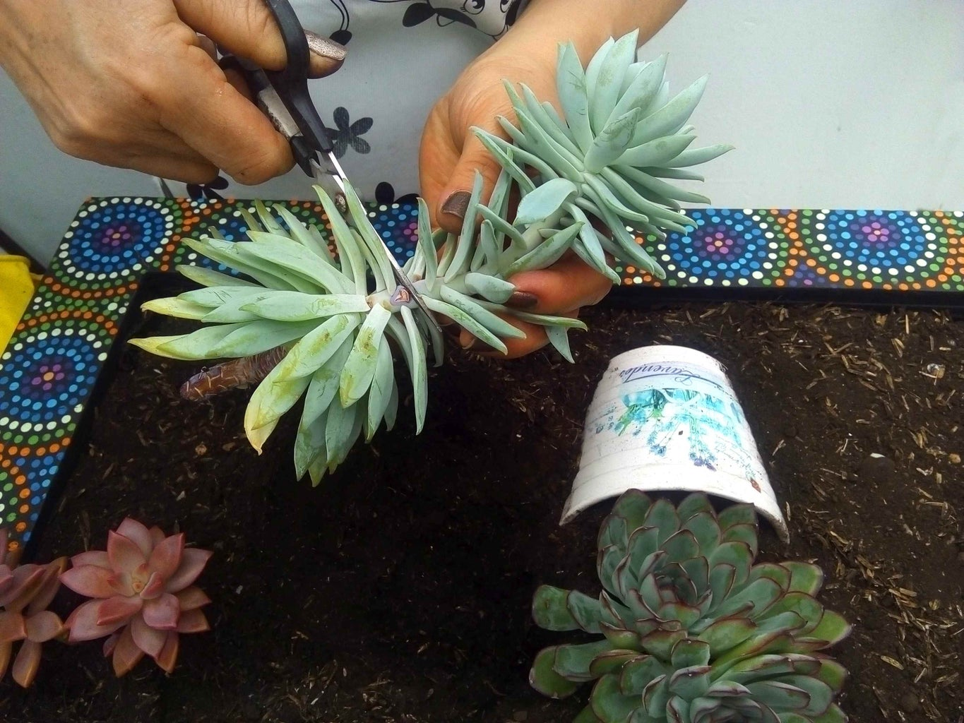 Preparation of the Succulents to Plant