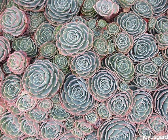 Hens and Chicks, the Succulent That Keeps on Giving