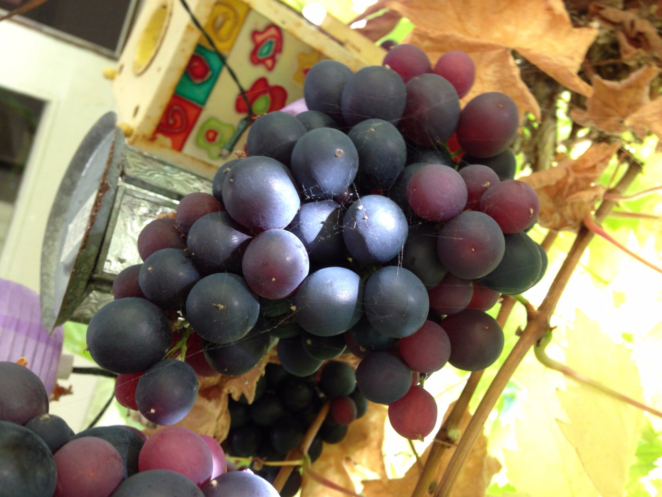 A Simple Way to Prune a Grape Vine in Autumn