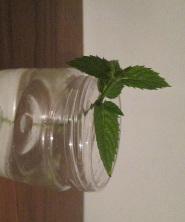 Propagating Mint From Cuttings