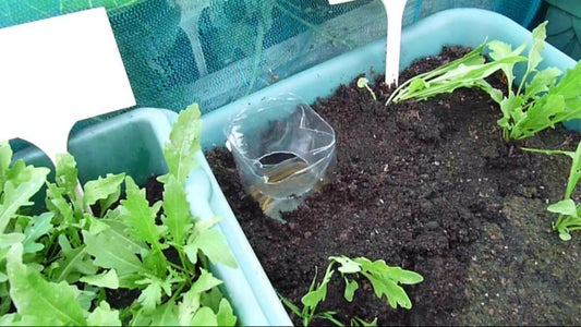 Site Your Traps in Shade Under Affected Plants and Here Are the Reults