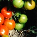 Growing Tomatoes in the Pacific Northwest USA