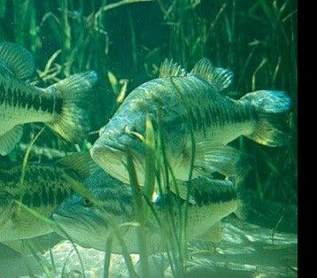 Bass Fishing Tactics