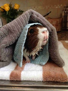 Removing Your Guinea Pig From the Water
