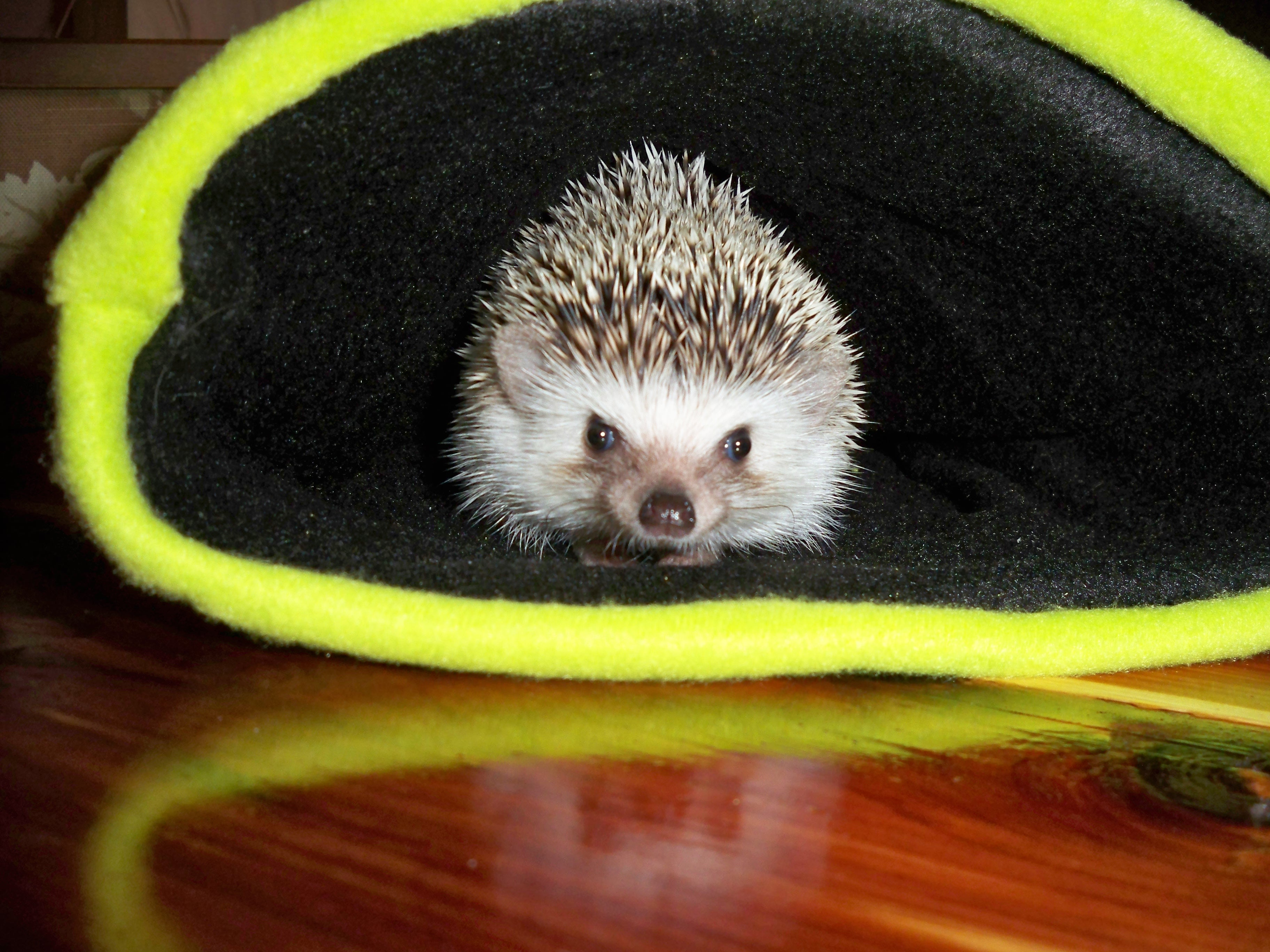 Snowball Hedgehogs w Sherpa Fleece Hedgie Bag  Hedgehog Snuggle Sack  Snuggle Pouch