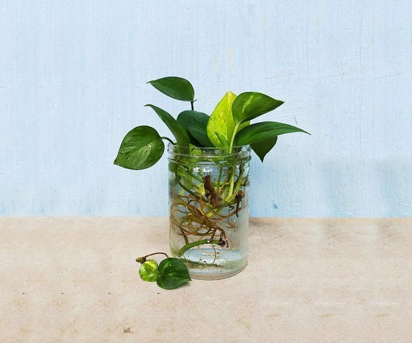 Grow Money Plant in Water From Cuttings