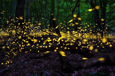 Fireflies !!