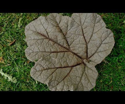 Concrete Leaf Casting - Small Gunnera Leaf Cast