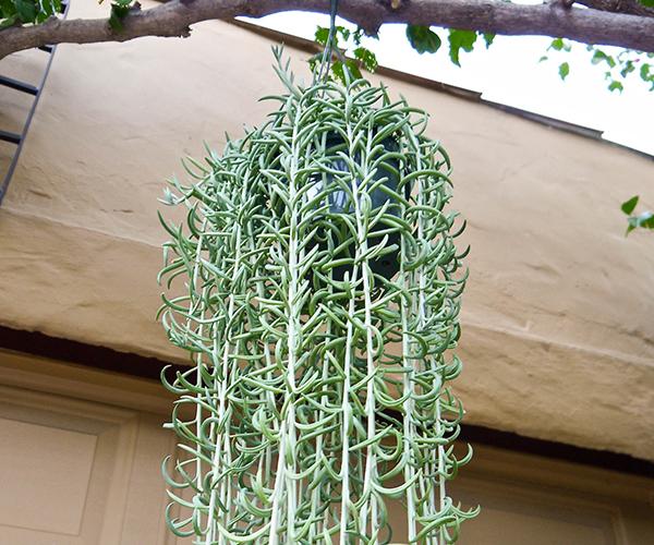 How & Why I Pruned My Trailing Fishhooks Succulent