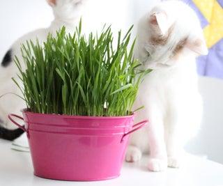 如何种植猫草