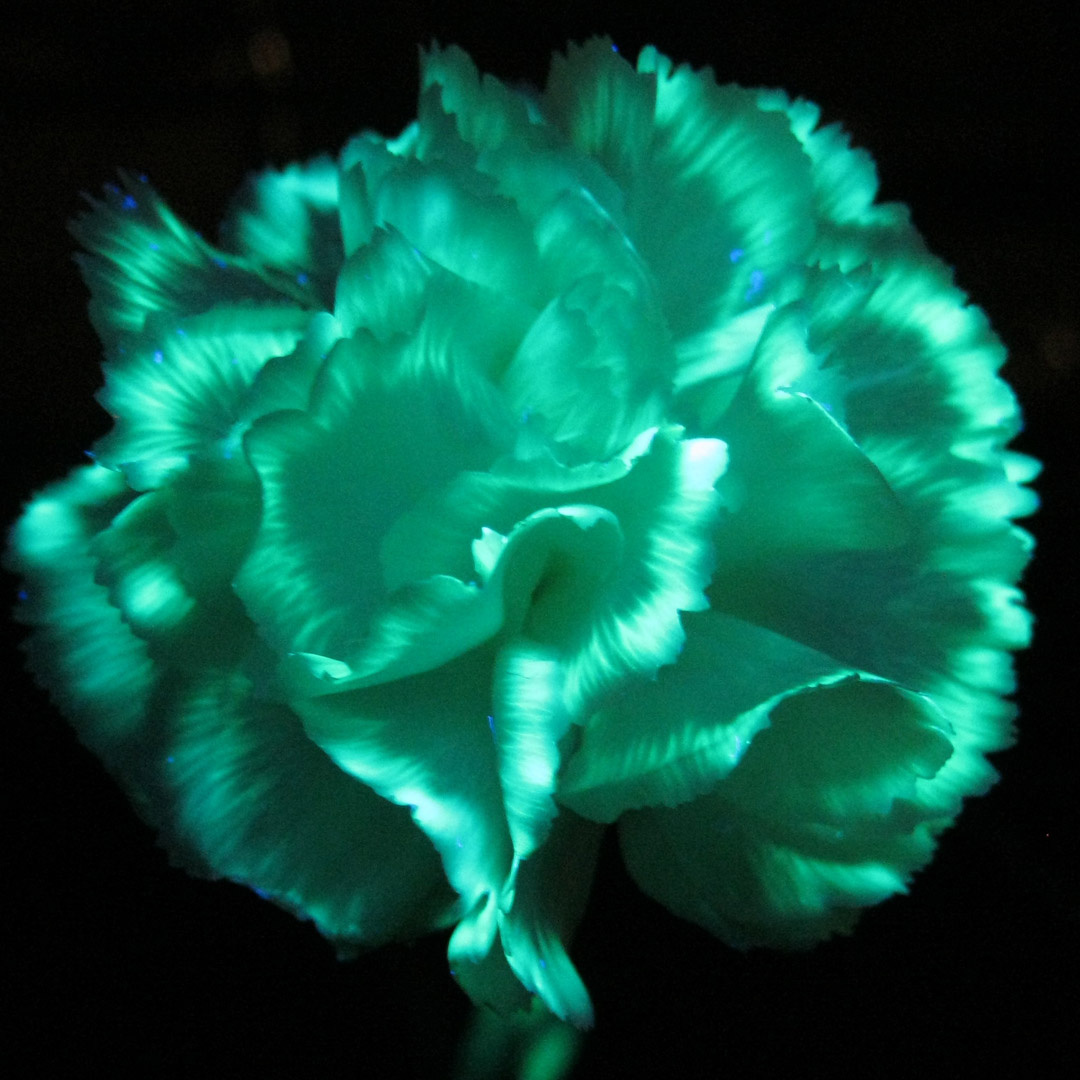 Make Flowers Glow in the Dark with Highlighter Fluid and UV Light