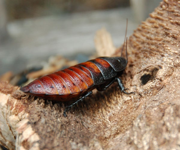 Keeping Madagascar Hissing Cockroaches in Your Home
