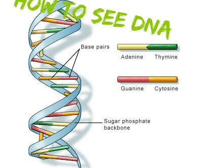 How to Extract and See DNA for Cheap