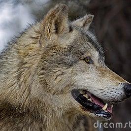 perfil-do-lobo-de-madeira-lúpus-de-canis-654432.jpg
