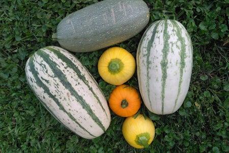 Squash Fruit