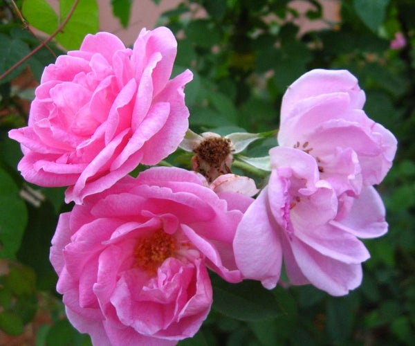 How to Make Rose Oil