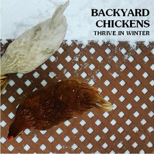 Backyard Chickens: Thrive in Winter