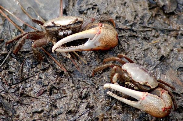 Fiddler Crab Care