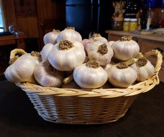 Garlic Gardening