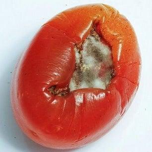 rotten+tomato.jpg