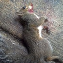 How to Skin a Squirrel