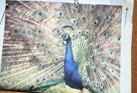 Peacock Base, Eyes and Face