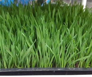 Perpetual Wheatgrass
