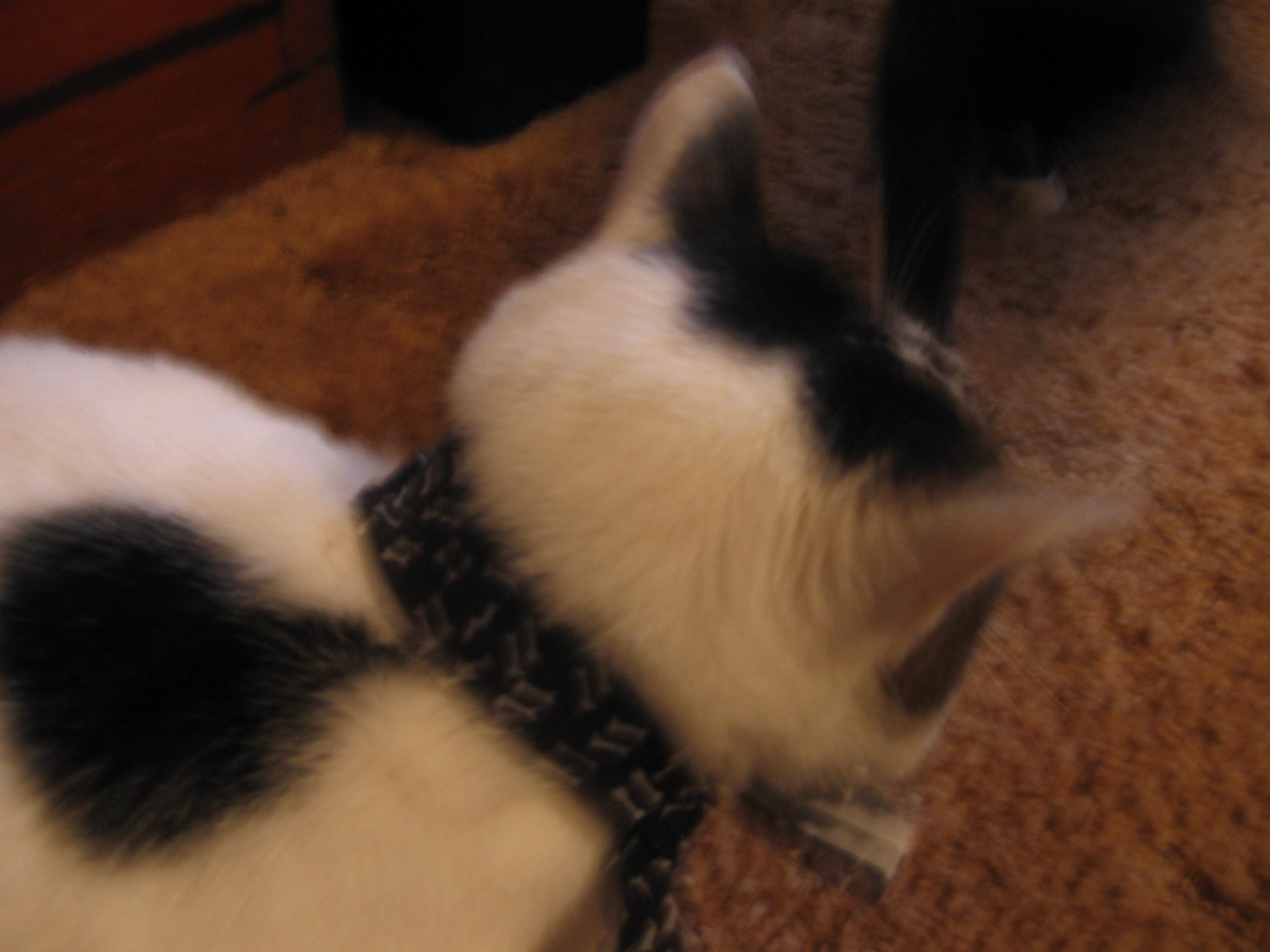 Natural Flea Collars-- Cheap, Easy and Non-irritating