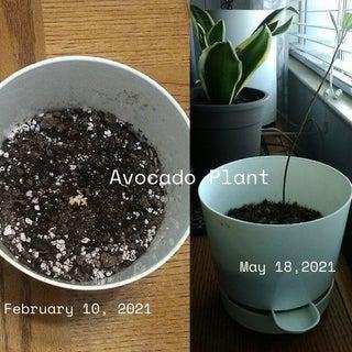 Avocado Plant  IG.jpg