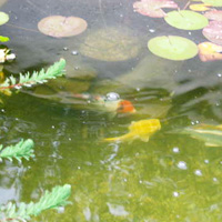 Make a Koi Pond