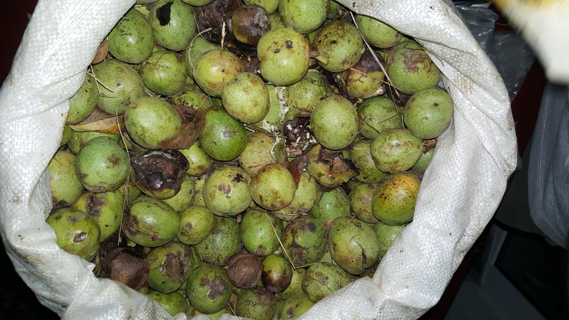 Gather Walnuts From Ground