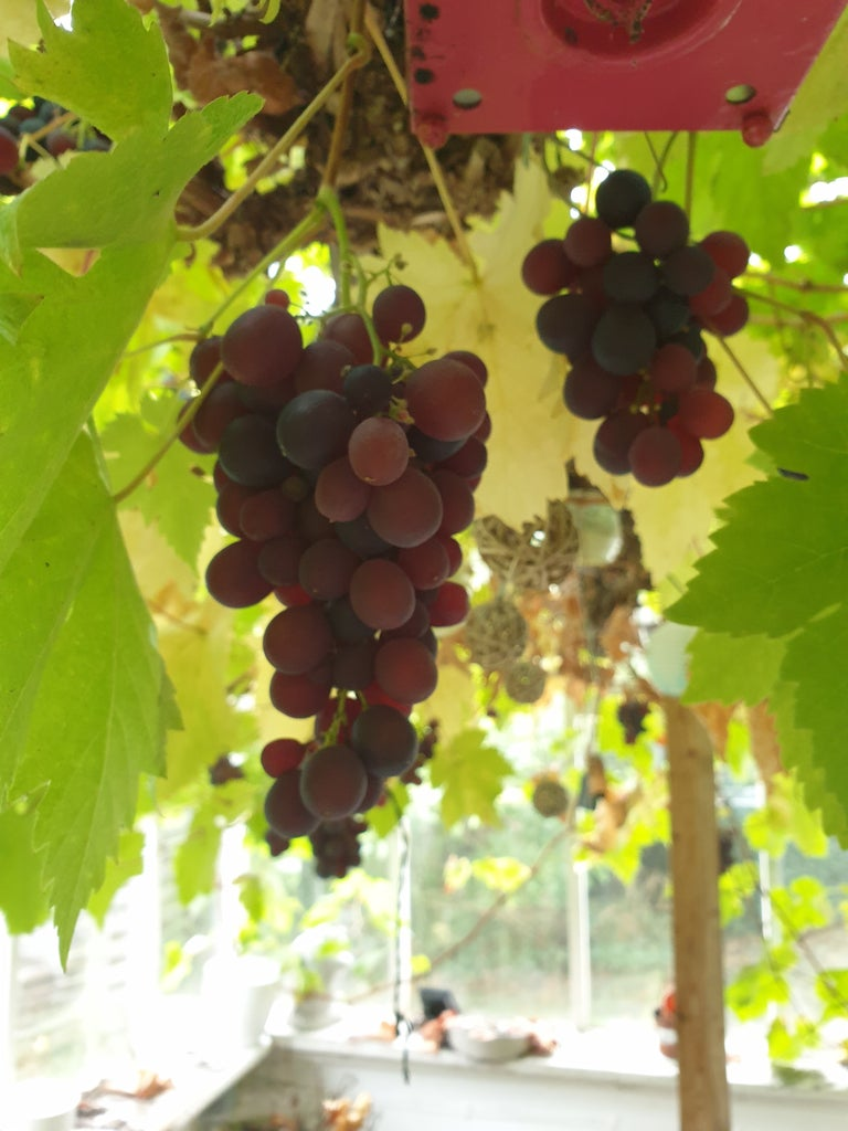 How to Make Your Own Wine From Grapes at Home