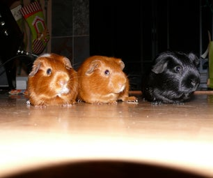 How to Take Care of Guinea Pigs