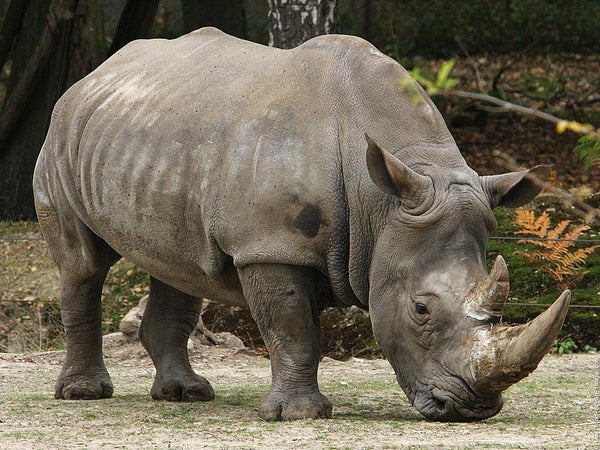 How to Out Run a Rhinoceros