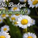 No Budget Chamomile!