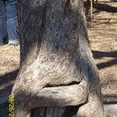 beernut