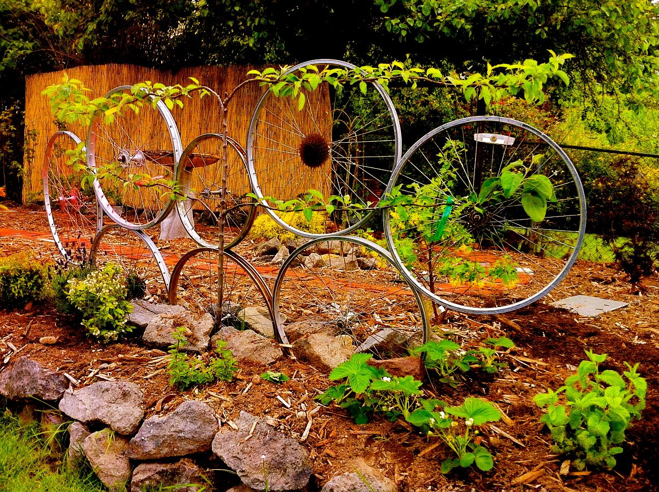 Training Wheels: Bike wheel trellis with espalier apple tree
