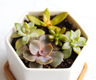 如何从扦插中占据和种植多汁植物