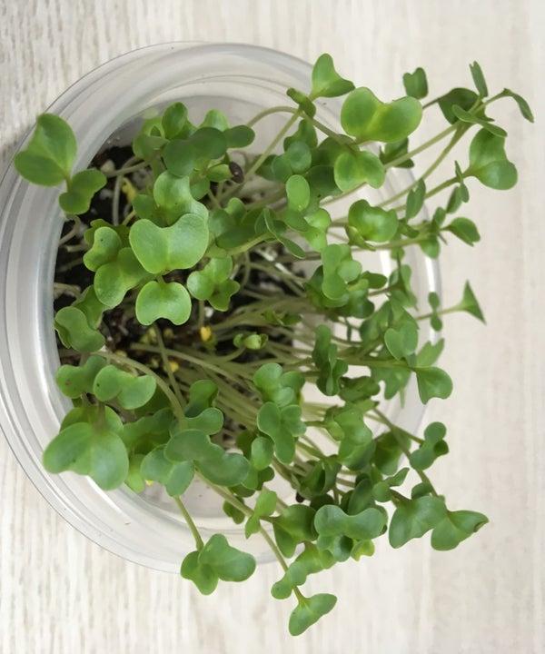 Office Farming : Growing Broccoli Microgreens Indoor
