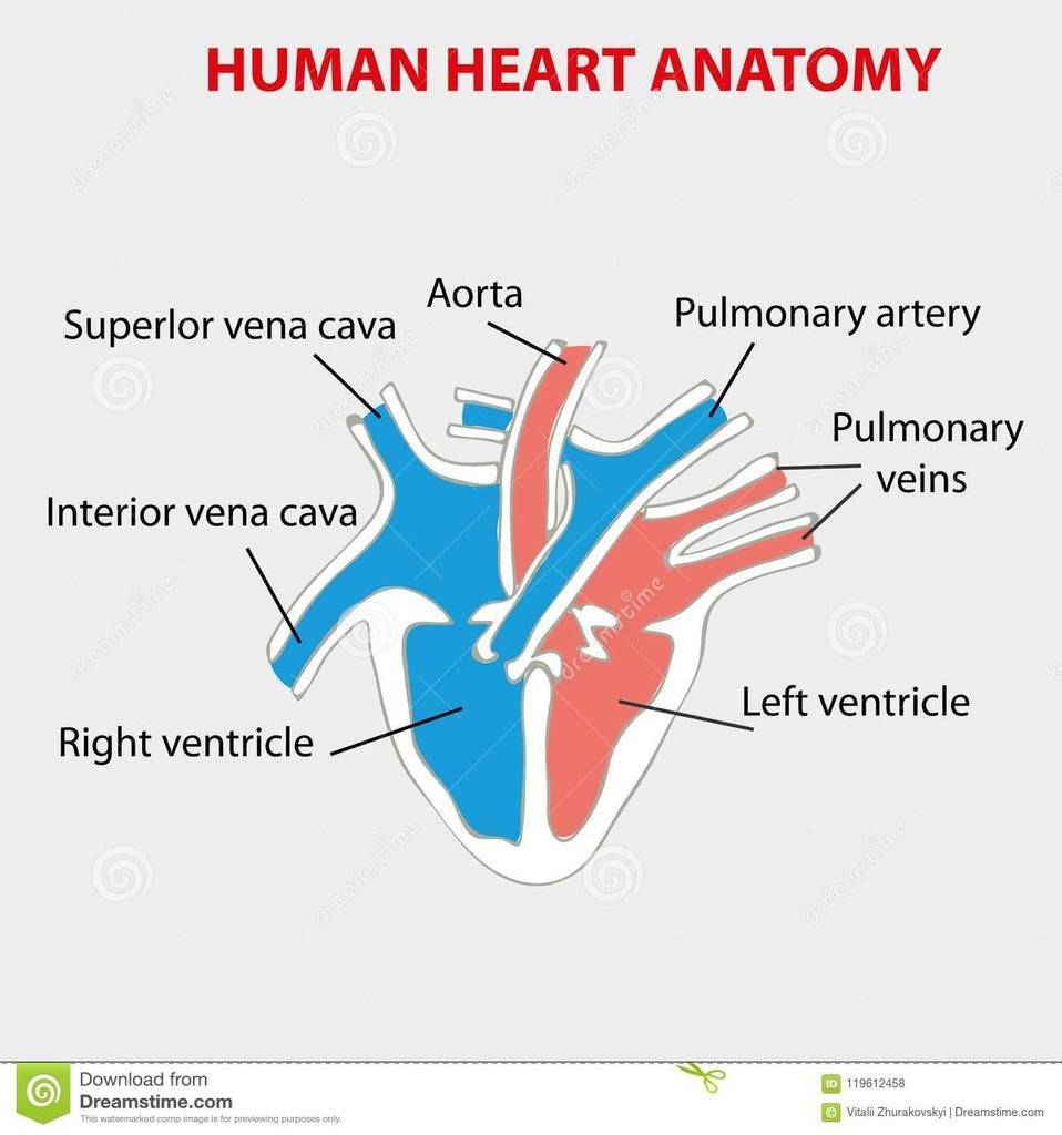 Functioning Heart: STEM Project for Kids